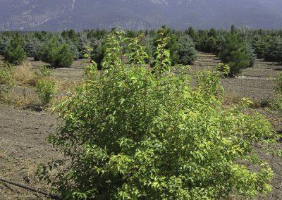 Amur Maple (Clump)