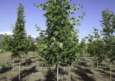 Green Mtn Maple