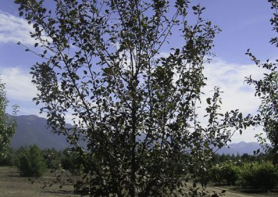 Thunderchild Crabapple (CVI)