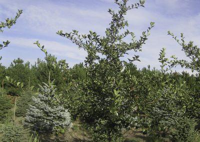 Cockspur Hawthorn (Thornless)