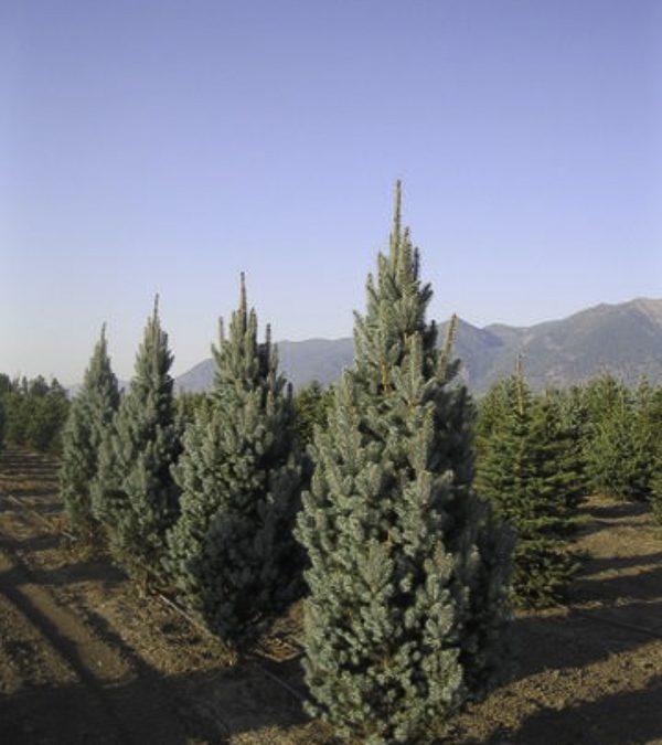 Fastigiata Spruce