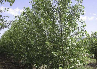 Lanceleaf Poplar