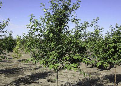 May Day Tree (CVI)