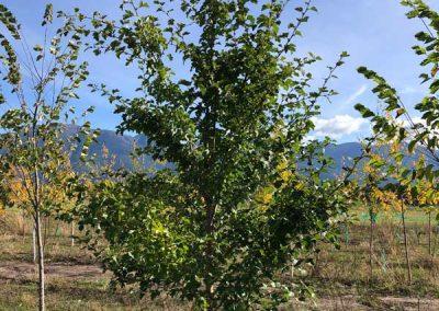 Paul's Scarlet Hawthorn