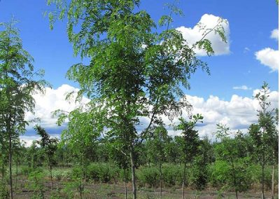 Skyline Honeylocust